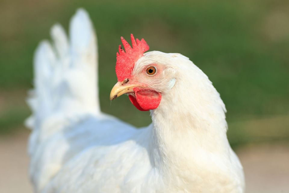 viaggio del pollo_italiano è top