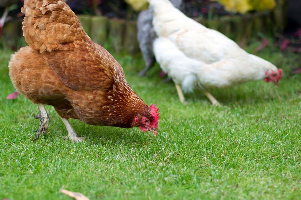viaggio del pollo_italiano e sostenibile