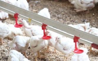 pollo-antibiotici-allevamenti