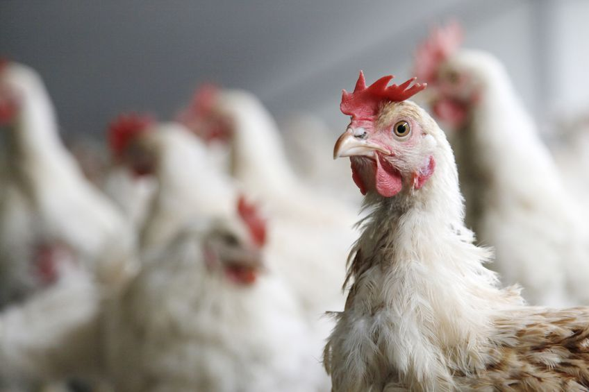 Allevamenti di pollo