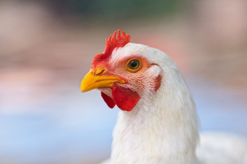 Filiera avicola italiana
